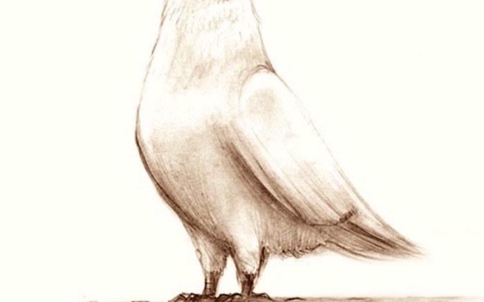 Pigeon on roof
